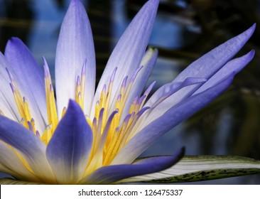 Beautiful purple and yellow Amazon Waterlily