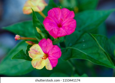 Beautiful purple and yellow flowers of Mirabilis jalapa or The Four o' Clock in summer garden. Colorful floral background.