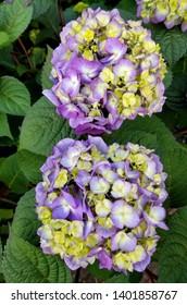 Beautiful purple and yellow Hydrangea 'Bloom Struck' flowers