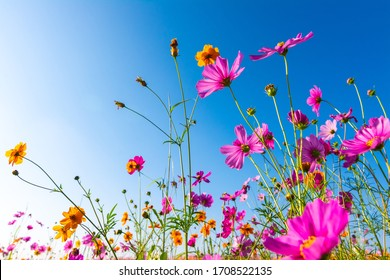 Beautiful purple,pink,red, cosmos flowers blooming in the garden with blue sky on nature background
