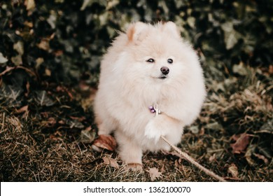 beautiful pushy dog Pomeranian on a walk touches the collar with his foot and looks into the distance