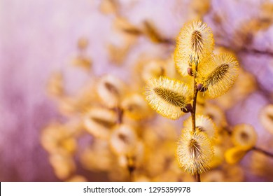 Beautiful pussy willow flowers branches. Beautiful spring flowering branches of willow. Pussy willow branches background. Amazing delicate artistic image nature in spring.