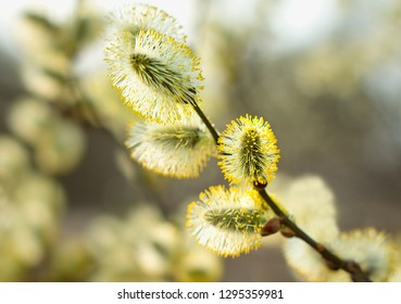 Beautiful pussy willow flowers branches. Flowering pussy willow on natural blurred background, macro. Pussy willow branches background. Amazing delicate artistic image nature in spring.