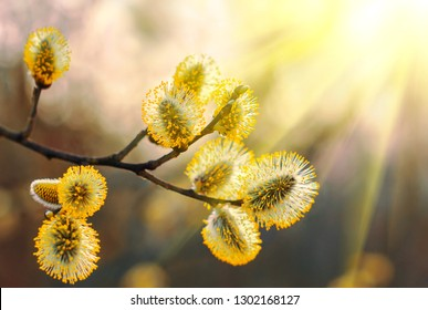 Beautiful pussy willow flowers branches. Easter palm sunday holiday. Amazing elegant artistic image nature in spring, willow flowers and sunlight. Pussy willow branches background, close-up.