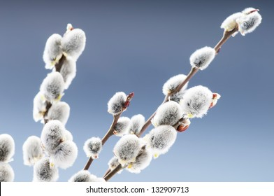 Beautiful pussy willow flowers branches