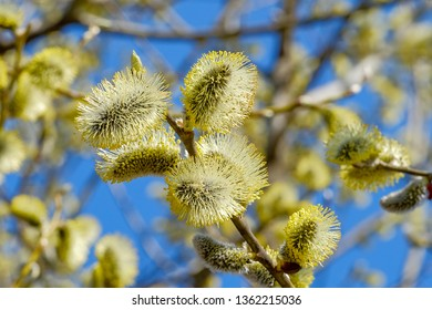 Beautiful pussy willow flowers close up. Fowering willow branches background. Easter time.