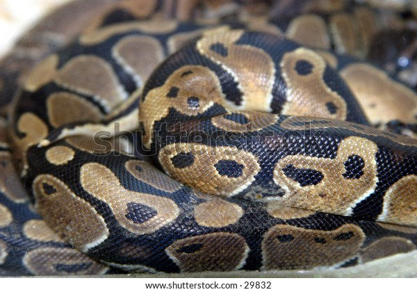 a beautiful python lays coiled up showing its color and texture