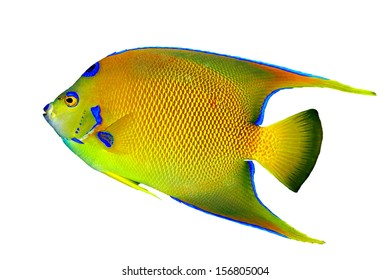 A beautiful Queen Angelfish (Holacanthus ciliaris] isolated on a white background.