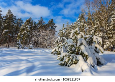 beautiful quiet  winter pine forest in a snow
