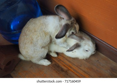 Beautiful rabbits breeding on wood floor.