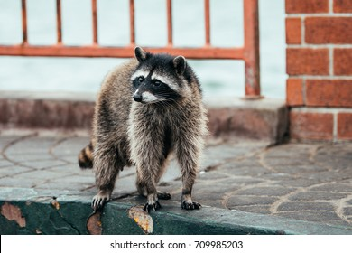a beautiful racoon looking for food