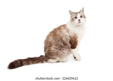 A beautiful Ragdoll Cat sitting with entire side of body in view for the camera.