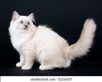 Beautiful Ragdoll kitten on black background