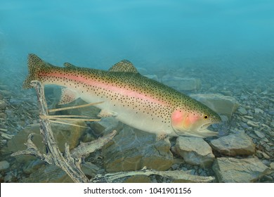 A beautiful Rainbow Trout Underwater