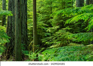 Beautiful Rainforest MacMillan Provincial Park -Big and tall ancient Douglas-fir and cedar trees stand in MacMillan park, known as Cathedral Grove 03, Vancouver Island Canada.