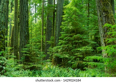 Beautiful Rainforest MacMillan Provincial Park -Big and tall ancient Douglas-fir and cedar trees stand in MacMillan park, known as Cathedral Grove 01, Vancouver Island Canada.