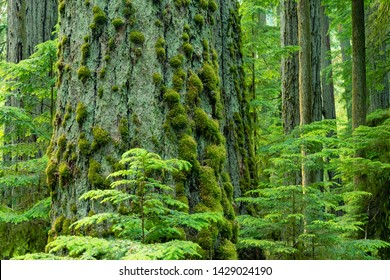 Beautiful Rainforest MacMillan Provincial Park -Big and tall ancient Douglas-fir close-up in MacMillan park, known as Cathedral Grove, Vancouver Island Canada.