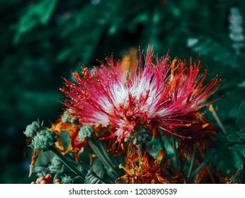 beautiful Raintree flower(Samanea saman , Rain Tree , East Indian Walnut )