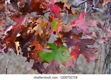 A beautiful range of colorful oak leaves as the autumn season is in the peak.