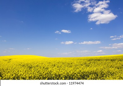 beautiful rapeseed field and clear blue sky as background