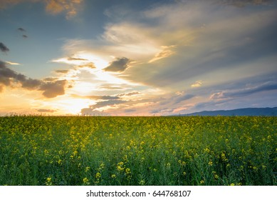 Beautiful rapeseed field with dramatic overcast sky. Magnificent sunset, spring or summer landscape.