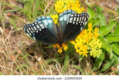 Beautiful, rare, female Diana Fritillary butterfly feeding on a yellow flower