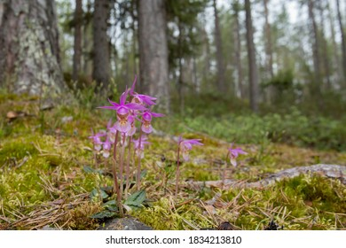 Beautiful and rare orchid, calypso orchid (Calypso bulbosa), blooming in spring in Finnish nature at Oulanka National Park
