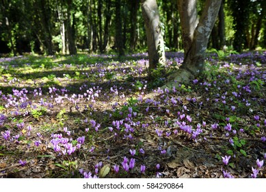 Beautiful and rare sight, a cyclamen field in the forest in Krka national park, Croatia.