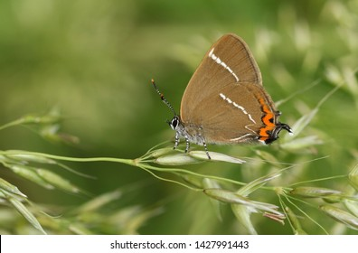 A beautiful rare White-letter Hairstreak Butterfly, satyrium w-album, perching on grass seeds.