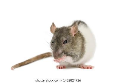 beautiful rat closeup on white background watching.
