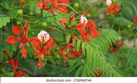 beautiful red acacia flower blossoms.