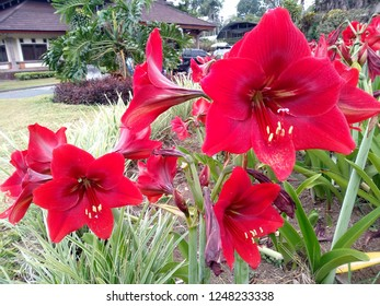 Beautiful red amaryllis flower blossoming in the garden. Flowers amaryllis in the Park or garden. Red amaryllis flower that bloom in the botanical garden of Bedugul Bali, Indonesia. ( Lily flower )