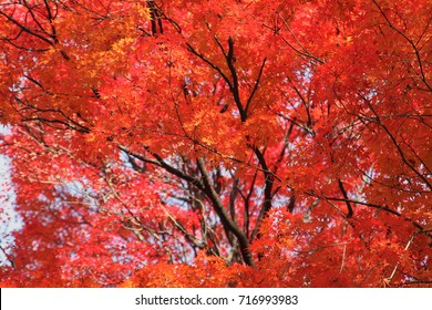 Beautiful red autumn tree background in fall from South Korea