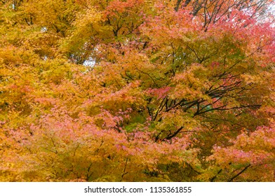 Beautiful red autumn tree in park, concept for season.