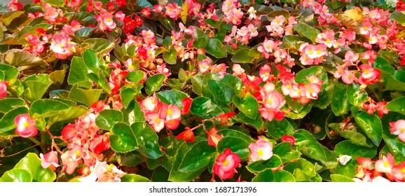 Begonia Garden Images Stock Photos Vectors Shutterstock