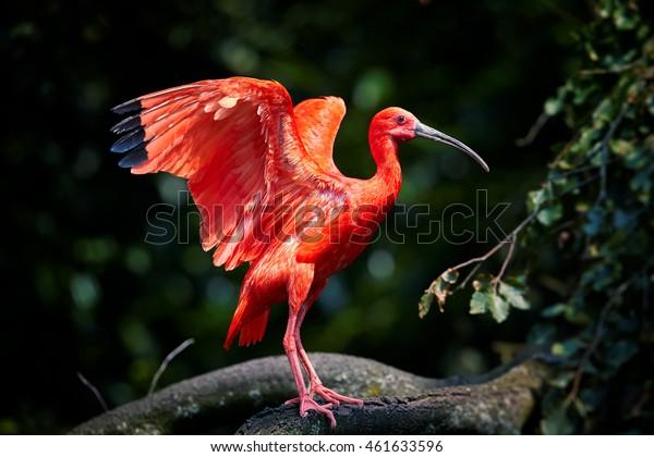 Красивая красная птица, Алый Ибис, Eudocimus ruber в его типичной среде, вытянутые крылья, размытые темно-зеленый лес в качестве фона. Болото Карони, путешествуя по Тринидаду.