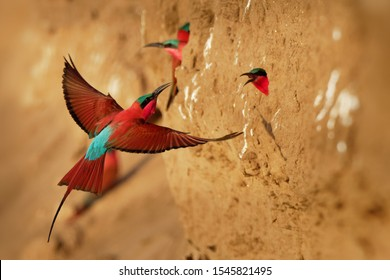 Beautiful red bird - Southern Carmine Bee-eater - Merops nubicus nubicoides flying and sitting on their nesting colony in Mana Pools Zimbabwe, Africa.