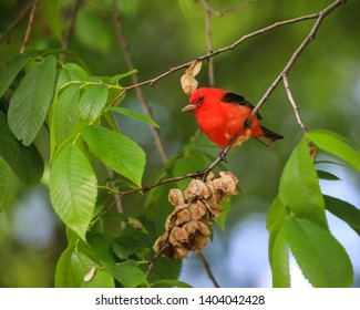 Beautiful red and black bird, Scarlet Tanager (Piranga olivacea) on a branch with a green background.