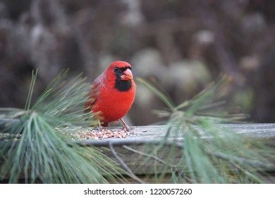 beautiful red and black cardinal sitting on a wooden rail eating birdseed