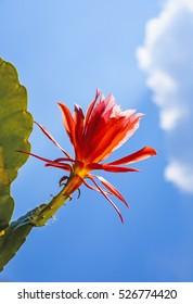 beautiful red blooming cactus in detail
