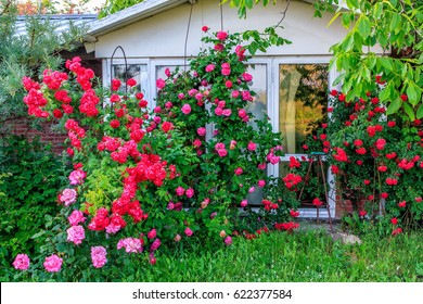 Beautiful red blooming rose flower bush in home garden at countryside at summer. Decorations and gardening.