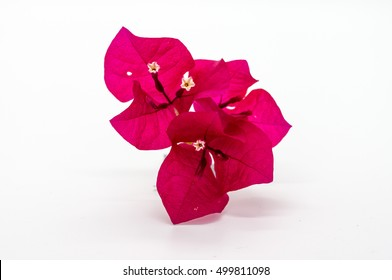 Beautiful Red Bougainvillea flower isolated on white.