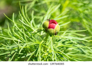 A beautiful red Bud of a peony flower called Voronets, on which two brownish-black ants crawl, has not yet blossomed. Against the background of green leaves elegant peony thin-leaved, narrow-leaved.