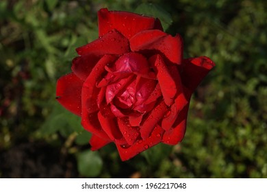 Beautiful red burgundy rose in dew on top on a green background.Close-up.Nature, landscape. - Shutterstock ID 1962217048