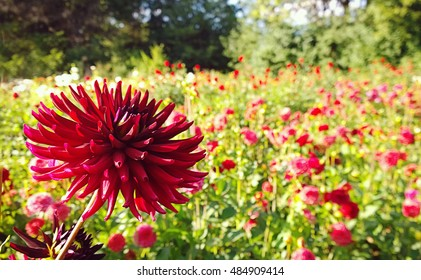 Beautiful red cactus dahlia flower in cultivated field with blurred flowers in background
