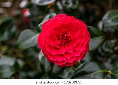 Beautiful red Camelia flower in springtime
