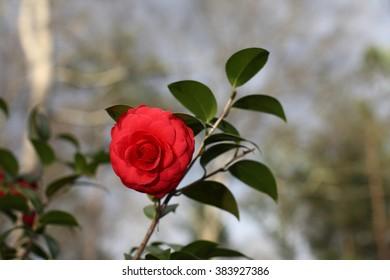 Beautiful Red Camellia