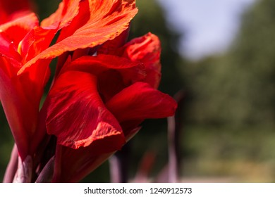 Beautiful red canna lily blooming in the garden
