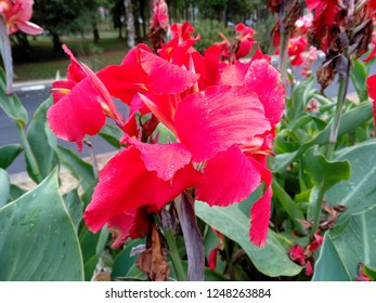 Beautiful red canna lily flower blossoming in the garden. Flowers canna lily in the park or garden. Red canna lily flower that bloom in the botanical garden of Bedugul Bali, Indonesia.