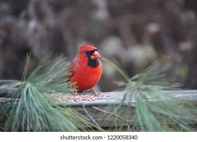 beautiful red cardinal with a black face and orange beak sitting on a porch surrounded by pine branches eating birdseed
